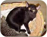 Domestic Shorthair Cat for adoption in Carencro, Louisiana - Xavier