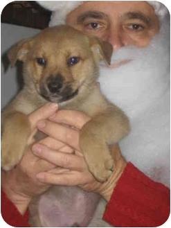 German Shepherd Dog/Labrador Retriever Mix Puppy for adoption in Cincinnati, Ohio - Happy