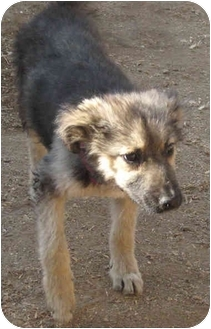 Australian Shepherd/Shepherd (Unknown Type) Mix Puppy for adoption in Poway, California - Gabby