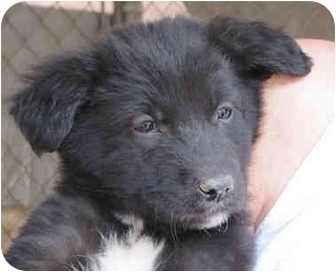 Australian Shepherd/Labrador Retriever Mix Puppy for adoption in Poway, California - Maggie's Babies