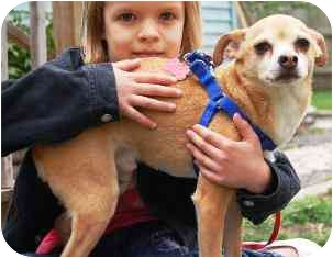 Rat Terrier/Chihuahua Mix Dog for adoption in Osseo, Minnesota - Romeo