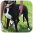 Photo 2 - Boxer/Labrador Retriever Mix Dog for adoption in Somerset, Pennsylvania - Chance