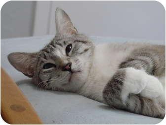 Siamese Cat for adoption in Davis, California - Lindsee