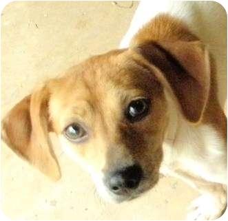 Italian Greyhound/Chihuahua Mix Puppy for adoption in Terra Ceia, Florida - SARA