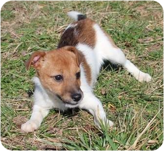 Chihuahua/Terrier (Unknown Type, Small) Mix Puppy for adoption in Foster, Rhode Island - Yellow