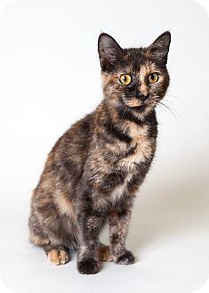 Domestic Shorthair Cat for adoption in Rockaway, New Jersey - Mini