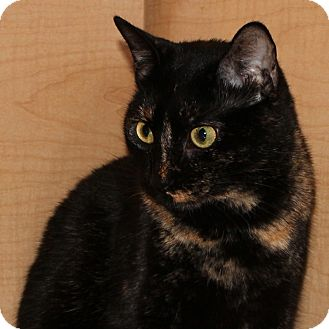 Domestic Shorthair Cat for adoption in Columbia, Illinois - Gwen