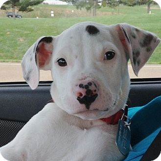 American Staffordshire Terrier Mix Puppy for adoption in Columbia, Illinois - Jackson
