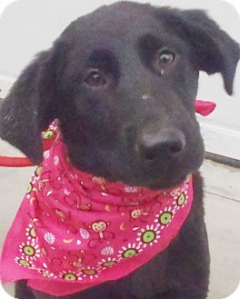 Labrador Retriever/Golden Retriever Mix Puppy for adoption in Chapel Hill, North Carolina - Kimi