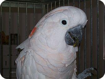 Cockatoo for adoption in Punta Gorda, Florida - Jemma