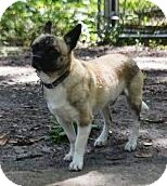 Pug/Pekingese Mix Dog for adoption in Brooksville, Florida - NORMAN