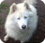 Siberian Husky Dog for adoption in Apple valley, California - Glacier