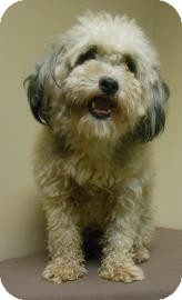 Poodle (Miniature) Mix Dog for adoption in Gary, Indiana - Bill