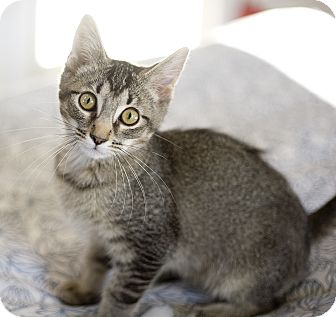 Domestic Shorthair Kitten for adoption in Chicago, Illinois - Fuzzy