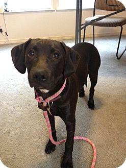 Labrador Retriever/Weimaraner Mix Puppy for adoption in Wasilla, Alaska - Brom