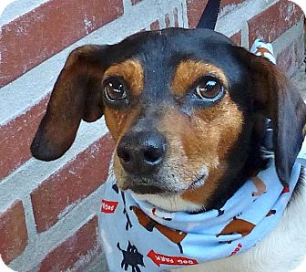 Dachshund Mix Dog for adoption in Baton Rouge, Louisiana - Stretch