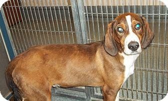 Hound (Unknown Type) Mix Dog for adoption in Warrenton, North Carolina - Snoopy the Wonder Pup
