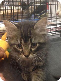Domestic Mediumhair Kitten for adoption in Redwood, Mississippi - Twila