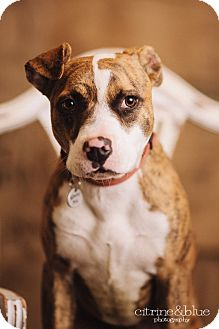 Pit Bull Terrier Puppy for adoption in Portland, Oregon - Tilly Tiger