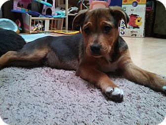 Collie/Shepherd (Unknown Type) Mix Puppy for adoption in Hainesville, Illinois - Garcia