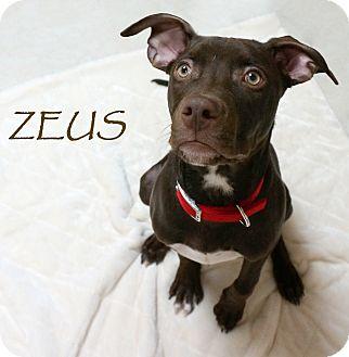 Pit Bull Terrier/Labrador Retriever Mix Dog for adoption in Wheaton, Illinois - Zeus