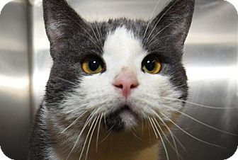 American Shorthair Cat for adoption in New Haven, Connecticut - SIDNEY