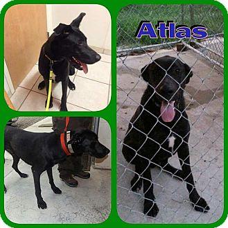 Great Dane/Labrador Retriever Mix Dog for adoption in Sanford, North Carolina - Atlas