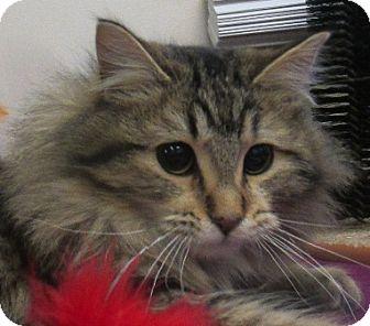 Domestic Longhair Cat for adoption in Lloydminster, Alberta - Finn