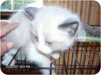 Ragdoll Kitten for adoption in Wauseon, Ohio - Chedric