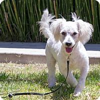 Adopt A Pet :: Paxton - Encino, CA