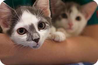 Domestic Shorthair Kitten for adoption in Montclair, New Jersey - Monkey and Mochi