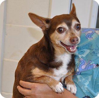 Chihuahua Dog for adoption in Sunrise Beach, Missouri - Bandit