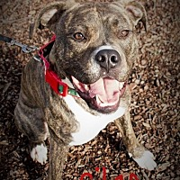 American Pit Bull Terrier/Boxer Mix Dog for adoption in Lincoln, California - Silas-ADOPTION FEE SPONSORED!!