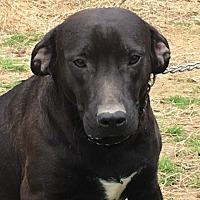 Adopt A Pet :: Gambler - Staunton, VA