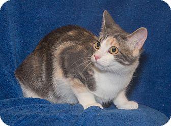 Domestic Shorthair Kitten for adoption in Elmwood Park, New Jersey - Nellie