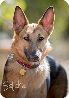 German Shepherd Dog Dog for adoption in Modesto, California - Sebeka