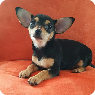 Chihuahua Puppy for adoption in Bridgeton, Missouri - Sophie