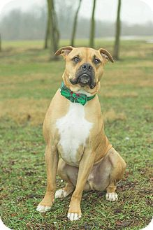 Boxer/American Bulldog Mix Dog for adoption in Georgetown, Kentucky - Hercules