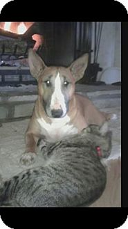 Bull Terrier Dog for adoption in Columbia, Tennessee - Sophie