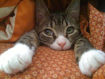 Domestic Shorthair Cat for adoption in Monroe, North Carolina - Toodaloo