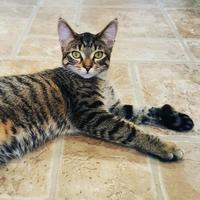 Domestic Shorthair/Domestic Shorthair Mix Cat for adoption in Hastings, Minnesota - Mason