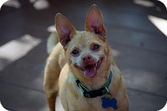 Chihuahua Mix Dog for adoption in Fairfield, Ohio - Lucy
