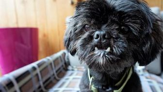 Shih Tzu Mix Dog for adoption in Seattle, Washington - Yang