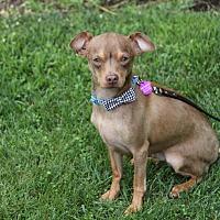 Adopt A Pet :: SCOUT - Newport Beach, CA