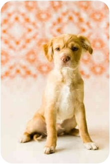 Cocker Spaniel Mix Puppy for adoption in Portland, Oregon - Poncho
