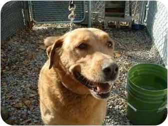 Golden Retriever/Labrador Retriever Mix Dog for adoption in Makinen, Minnesota - Butch