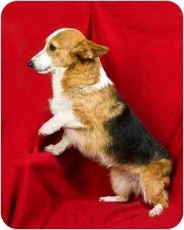 Corgi Dog for adoption in Anna, Illinois - WILLOW