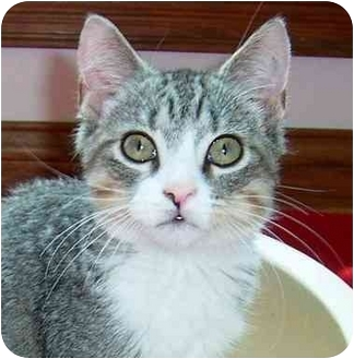Egyptian Mau Kitten for adoption in Taylor Mill, Kentucky - Jonas-Doglike