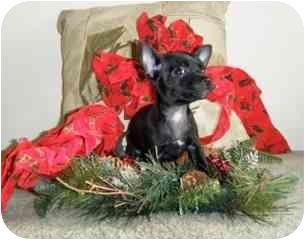 Chihuahua Mix Puppy for adoption in San Diego, California - Cole