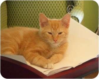 Domestic Shorthair Cat for adoption in Houston, Texas - Alvin